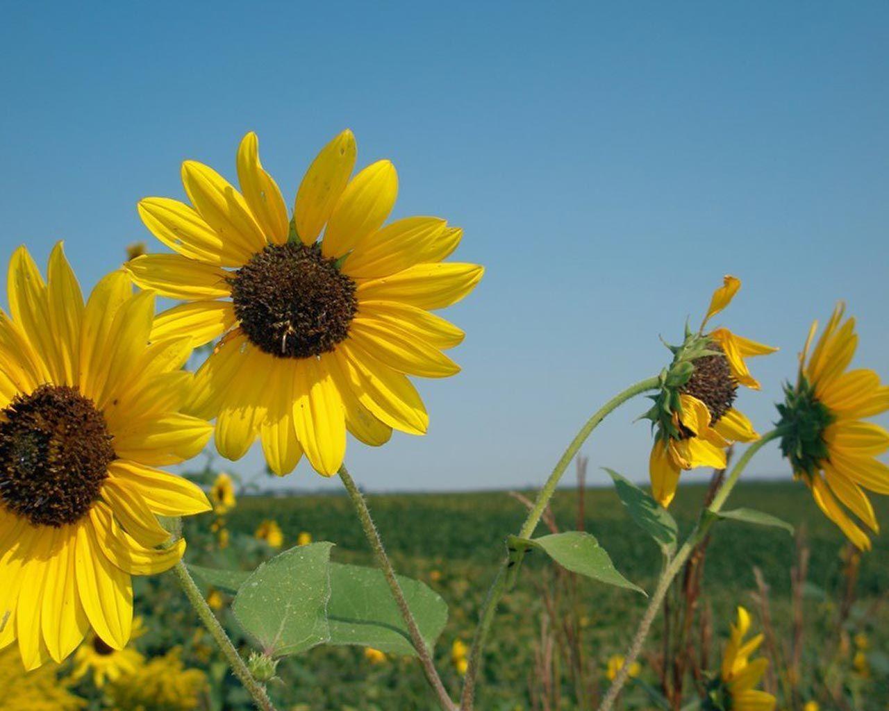 Fondos de pantalla de flores amarillos