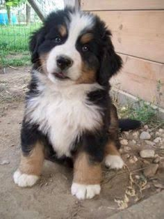 Image Result For Tricolour Border Collie Puppies Border Collie