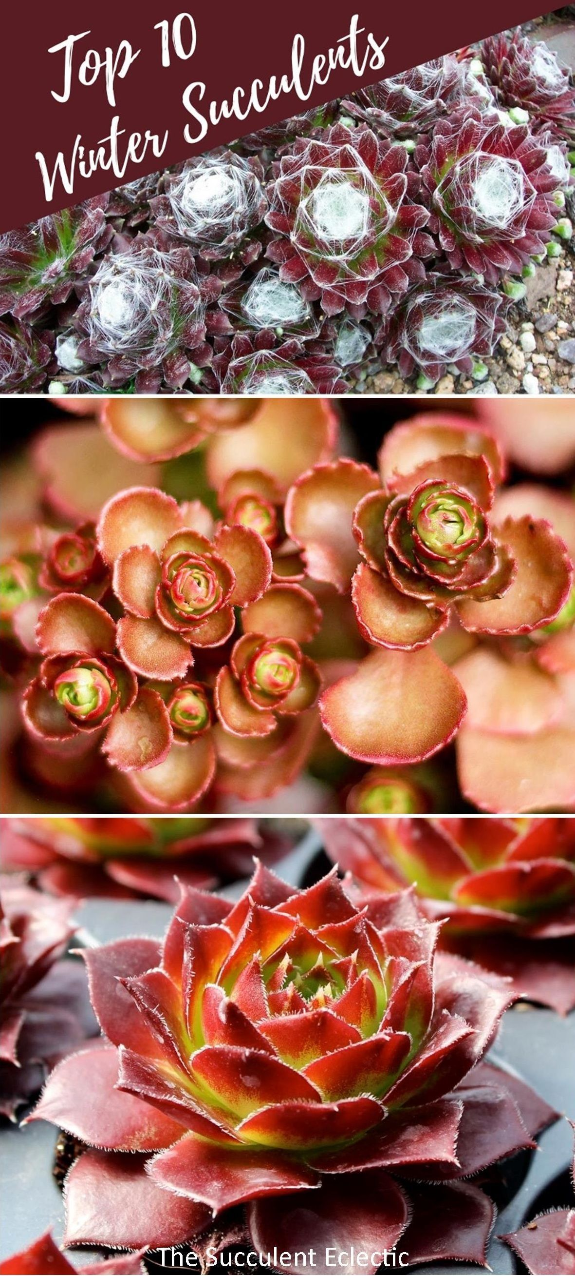 Photo of 10 Best Winter Succulents | The Succulent Eclectic