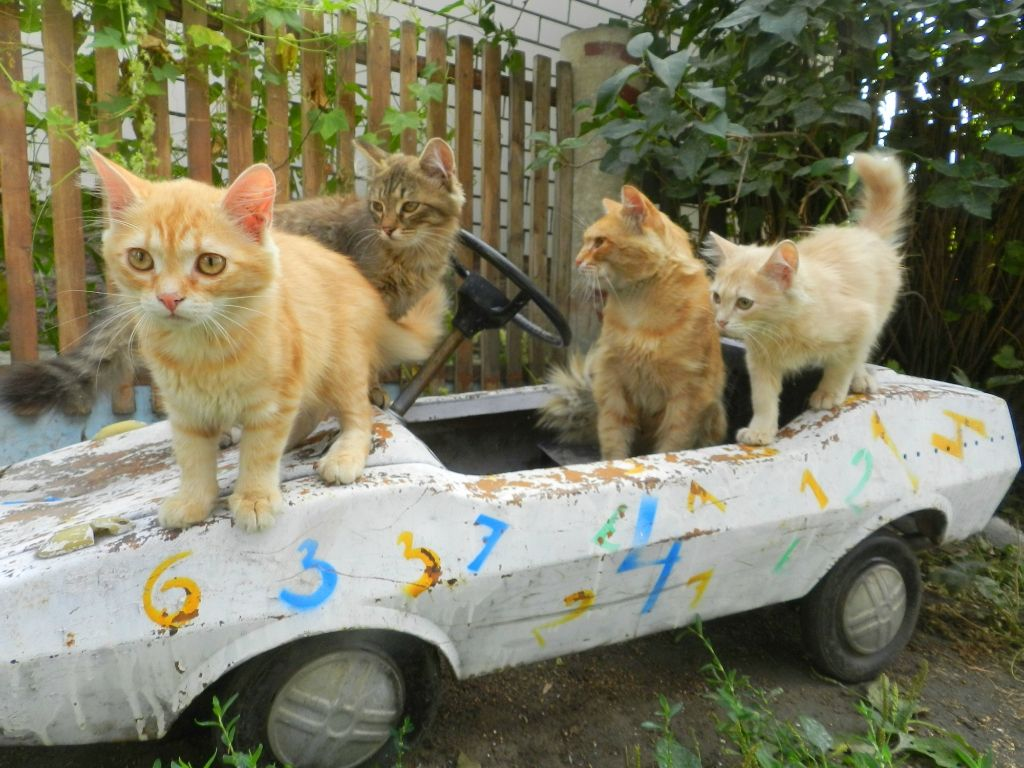 Sometimes, cars are more fun when there are friends around to enjoy the ride!  | Orange cats, Lots of cats, Old cats