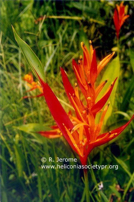 heliconia_psittacorum_celeste_raymond_jerome.jpg (455×684)