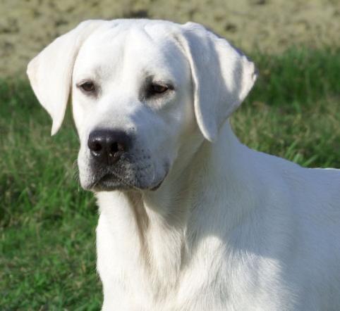 White Lab White Labradors White Labrador Males White Lab Studs White Labrador White Labrador Labrador Retriever Labrador Puppy