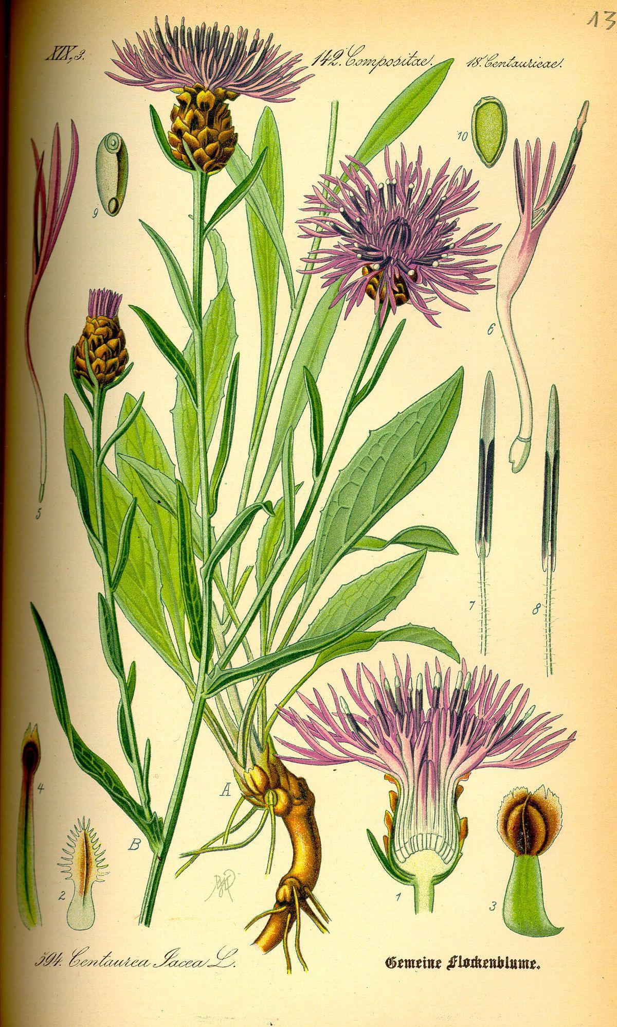 Centauree Jacee Wikipedia Dessins Botaniques Illustration
