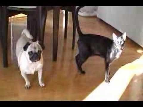 Cat Sneak Attack On Pug Followed By A Casual Kick To The Face