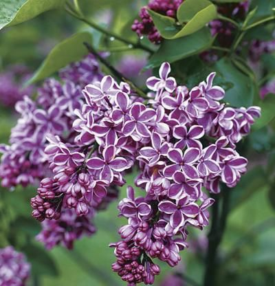 Sensation Lilac Finegardening Syringa Vulgaris Lilac Flowers Trees To Plant