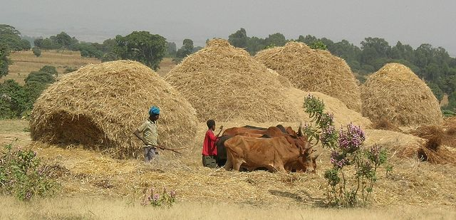 ethiopia agriculture   Recent Photos The Commons 20under20 Galleries World Map App Garden ...