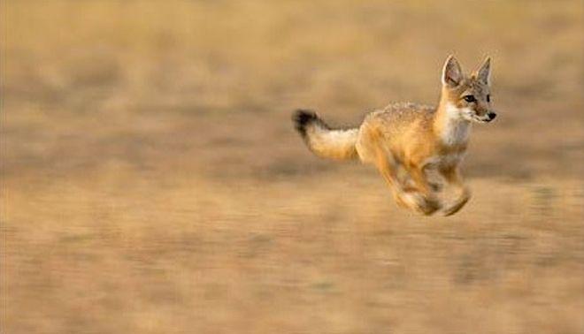 The Exultant Ark The Secret Emotional Lives Of Animals Swift Fox Fox Breeds Animals