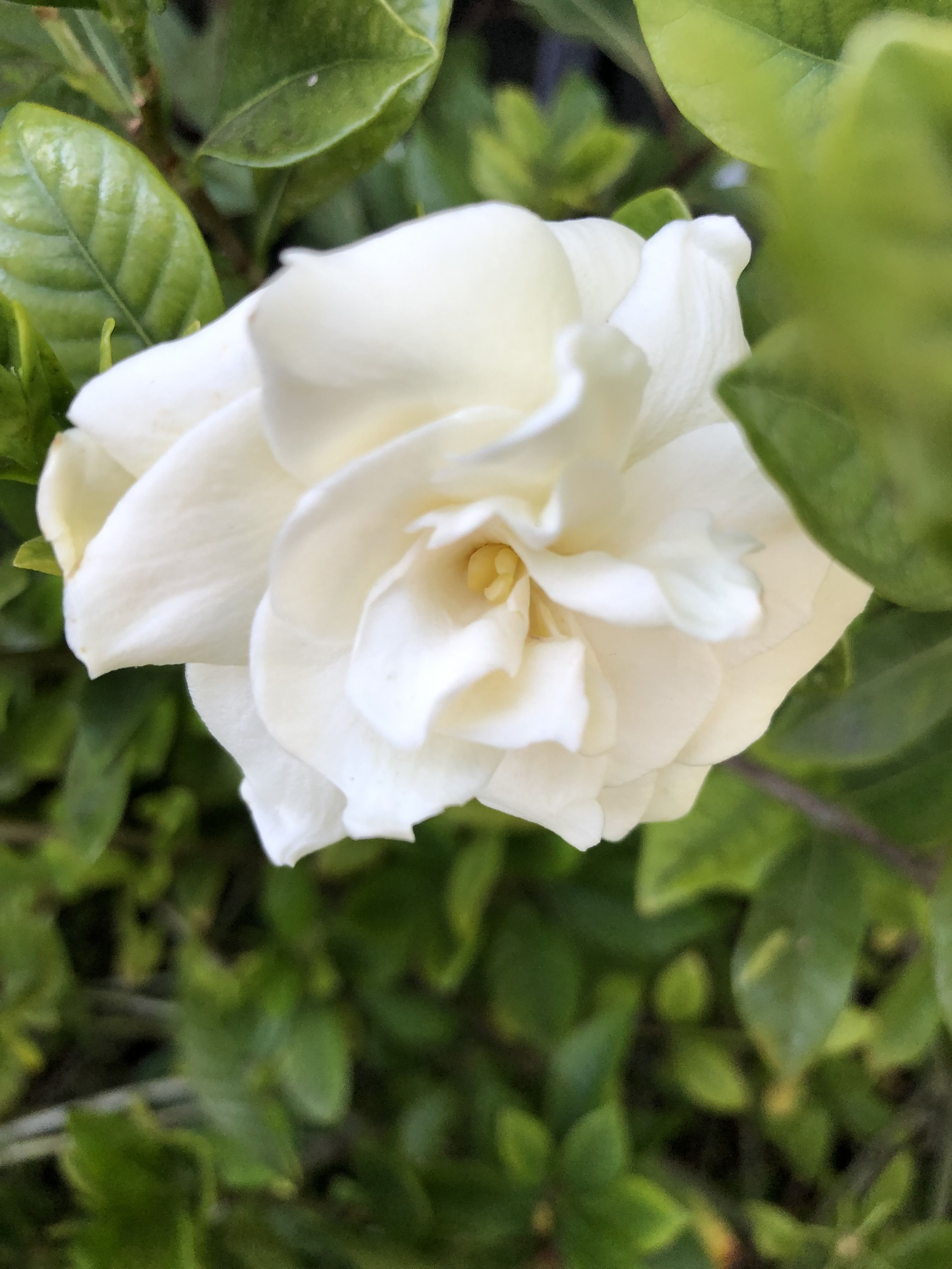Pin By Vagabond On Sweet Gardenia In 2020 Sweet Gardenia Flowers Gardenia