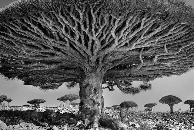 Dracaena cinnabari - Amazing trees from Socotra