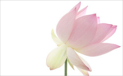 Lotus Flower Lotus Macro Img 3379 زهرة اللوتس ハスの花 莲花 گل لوتوس Fleur De Lotus Lotosblume क द 연꽃 Pink Lotus Lotus Flower Images Lotus Flower