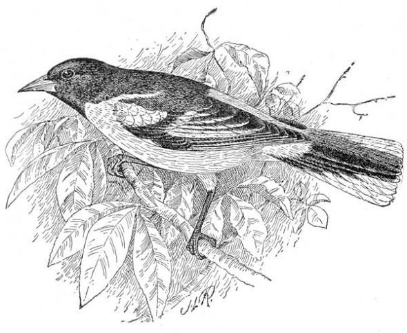 Baltimore Oriole Coloring Page   Black and white birds ...
