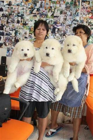 Caucasian Mountain Dog 12 Week Old Puppies Love Them We Will