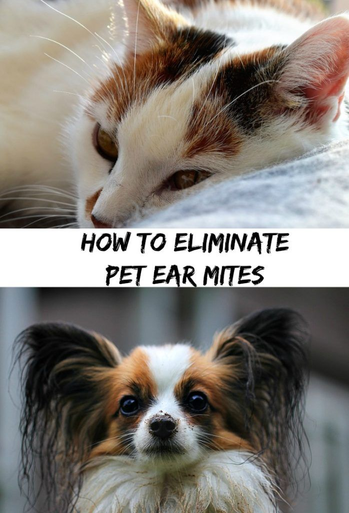How To Eliminate Pet Ear Mites At Home With My Honey Pets Dog Life Hacks Dog Person