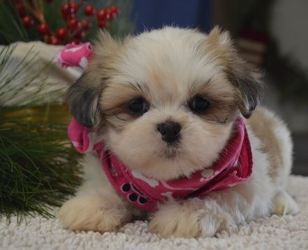 Lhasa Apso Puppy For Sale In Tucson Az Adn 54914 On Puppyfinder