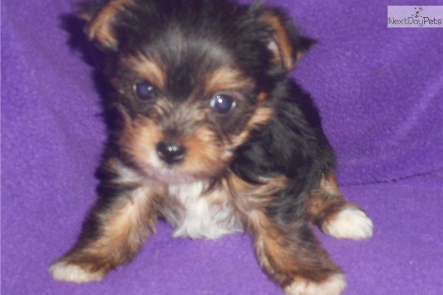 Sweety Yorkshire Terrier Yorkie puppy for sale near