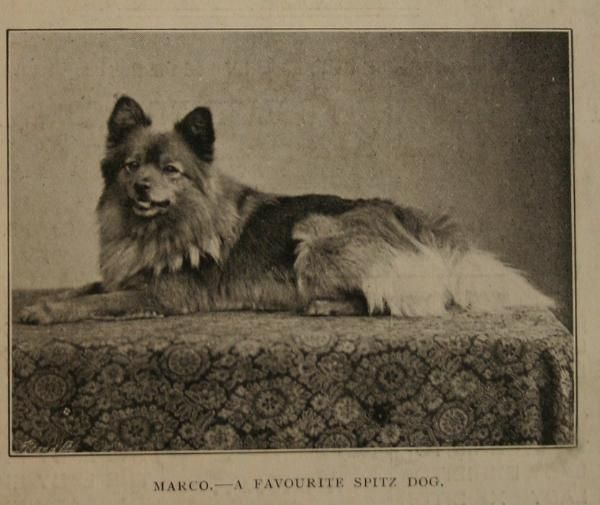 This Is Marco One Of Queen Victoria S Pomeranians They Were