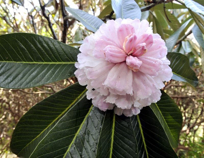 Rhododendron Protistum Var Giganteum In Cultivation Since 1918
