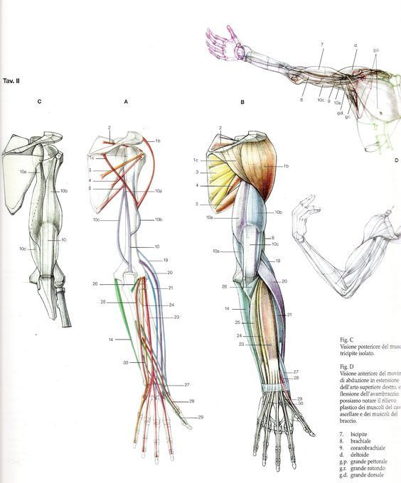 Character Design Collection Arms Anatomy Arms Pinterest