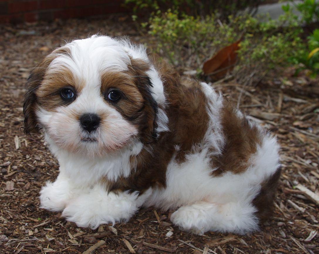 Lhasa Apso Dog Breeds