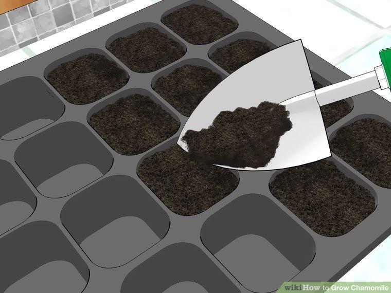 how to grow chamomile uk