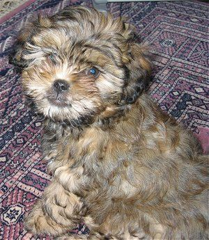 Shih Poo Sprinkles Is A Shih Poo She S White But This 8 Week