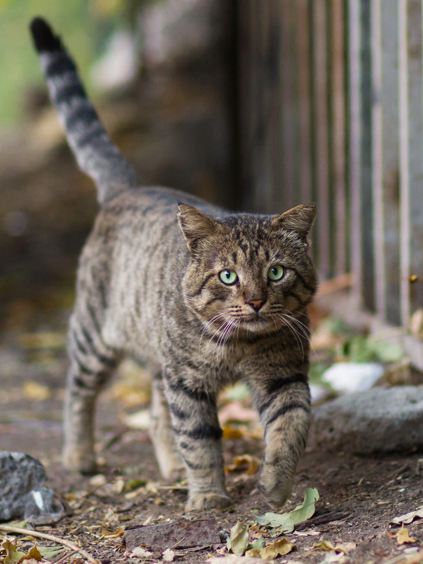 22 Pics 10 Stray Tabby Cat Who Look Like Small Tiger Cat Training Cats Tabby Cat