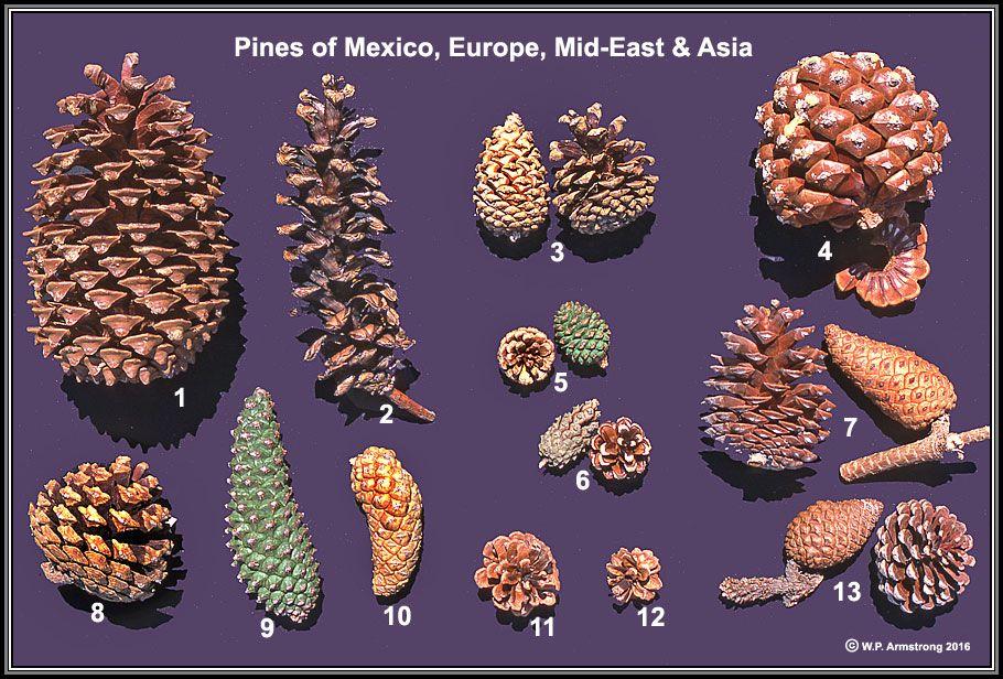 Www2 Palomar Edu Users Warmstrong Arbimg4a Htm Christmas Pine Cones Conifer Cone Gymnosperm