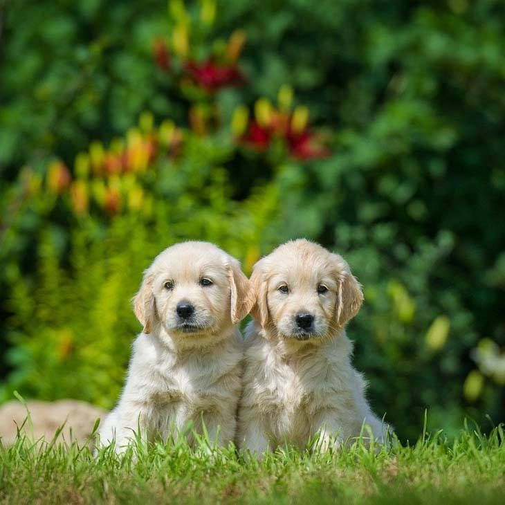 Aren T These Two Goldenretriever Puppies Adorable Fetch More