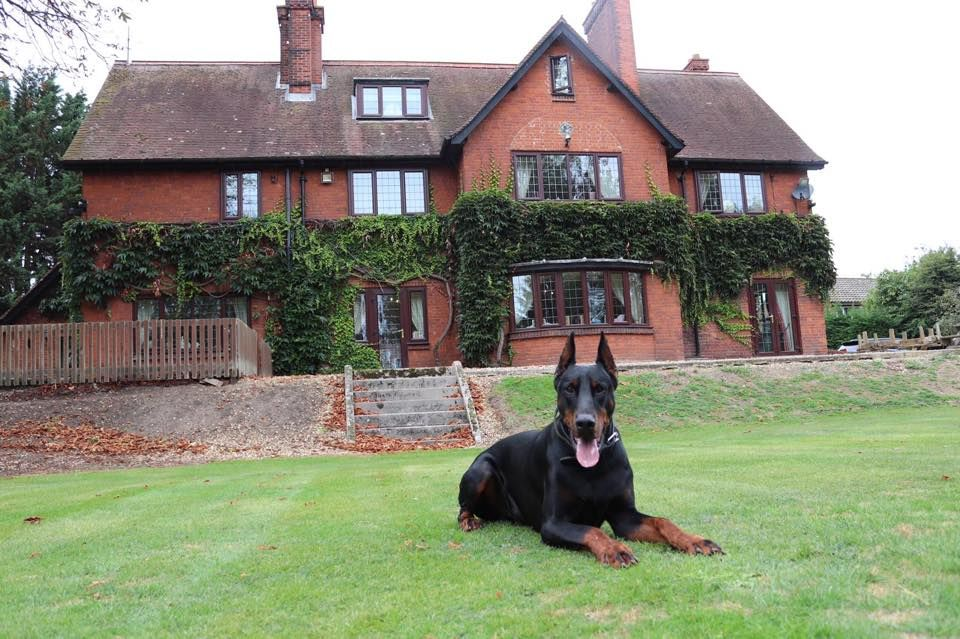 Doberman Guard Dogs For Sale Protection Dogs Worldwide Prince