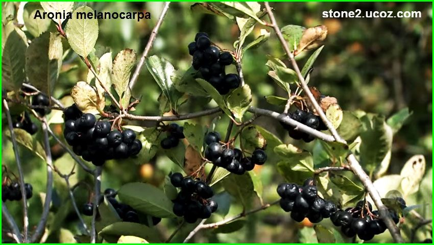 انواع فاكهة ارونية او الاروبية او الارونيا Aronia قائمة الفواكهة النبات معلومات نباتية وسمكية معلوماتية Grapes Aronia Fruit