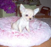 Chihuahua Newborn Puppies Little Chihuahua Breeders Chihuahua