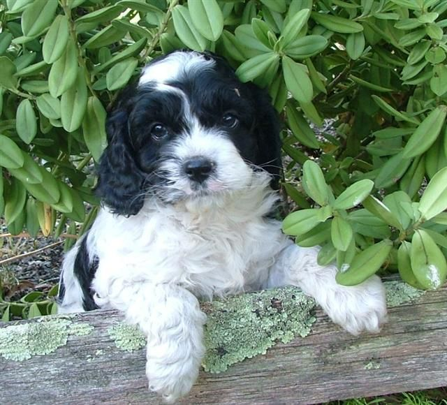 Cavachon With Black And White Fur Coat Cavachon Dog Pictures