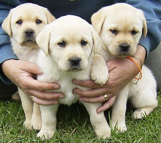 Labrador Dogs and Puppies (With images) Labrador