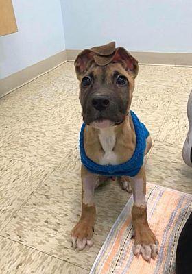 New York, NY Boxer. Meet a Dog for Adoption