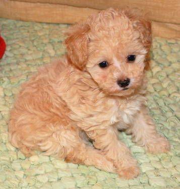 Maltipoo Female Puppies Dogs Cute Animals
