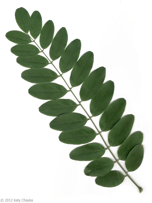 Black Locust Plants Map Leaf Coloring Plant Leaves