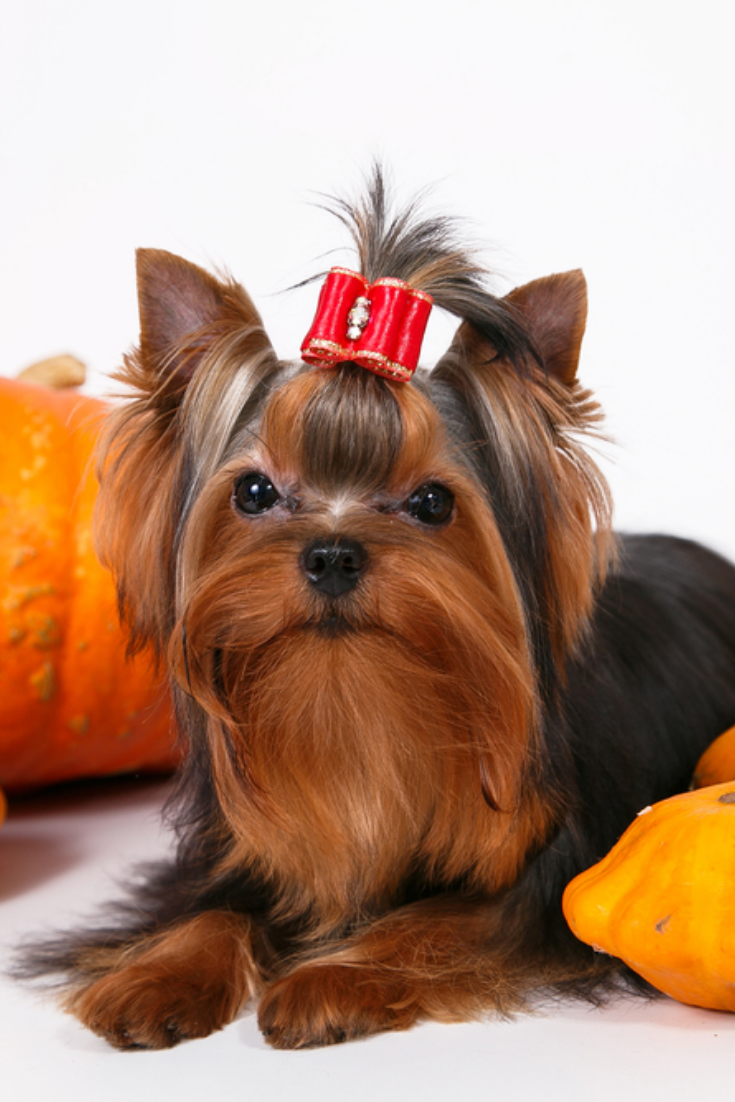 Cute Puppy Yorkshire Terrier Lying And Posing On A White Background With Pumpkins Yorkshireterrier Yorkshire Terrier Terrier Yorkie Lovers