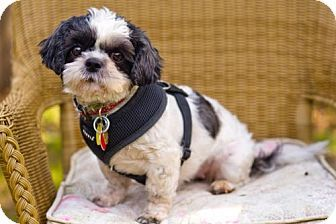Tallahassee Fl Shih Tzu Meet Carly A Dog For Adoption Just