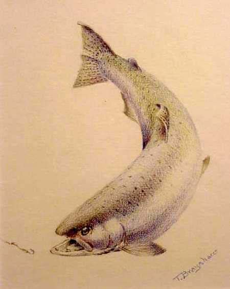 Chinook Salmon Salmon Drawing Fish Drawings Fish