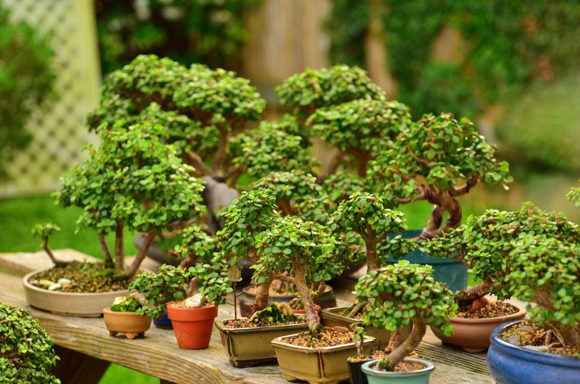 Portulacaria Afra Dwarf Jade Bonsai Trees In Training By Little Jade Bonsai Bonsai Pruning Jade Bonsai Bonsai Tree Care
