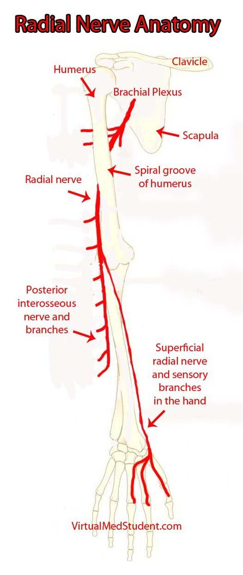 The radial nerve and its branches | Medical | Pinterest | Anatomy ...