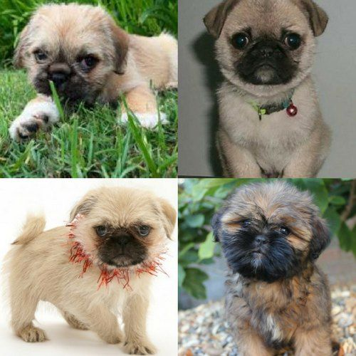 Adorable Pug Cross Breeds Pug Breed Pug Zu Pug Mixed Breeds