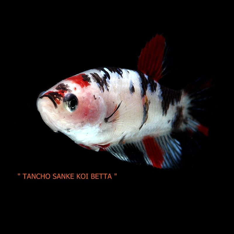 Item Fwbettashm1466290146 Tancho Sanke Koi Betta By Prince Ends Sat Jun 18 2016 05 49 06 Pm Cdt Arte