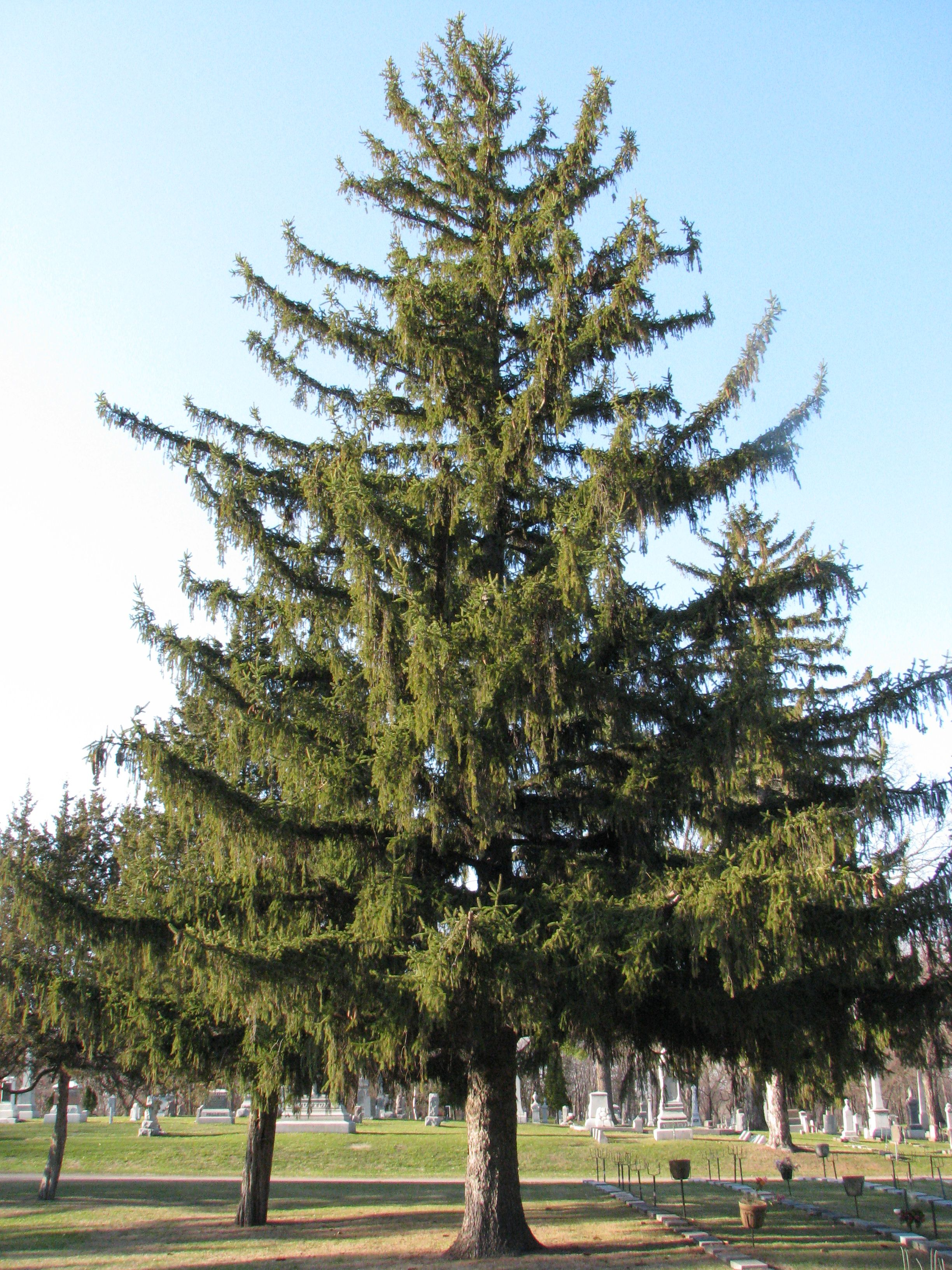 A closer look at cones norway spruce home outside pinterest craigs norway spruce tree looks so much like this one biocorpaavc Image collections
