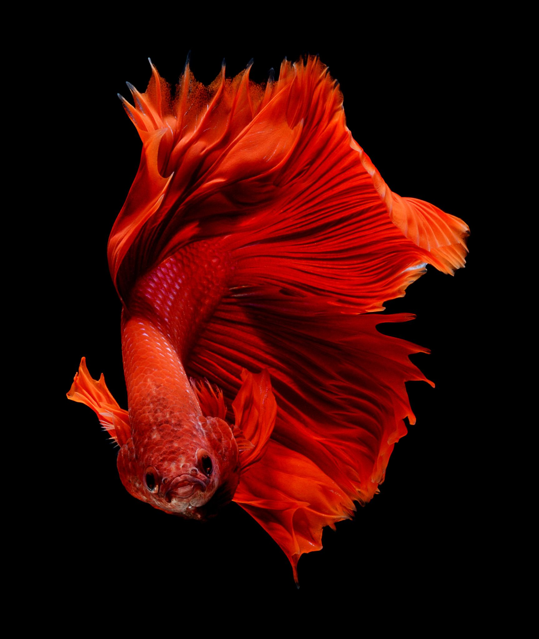 Red by visarute angkatavanich on 500px beta fish for Red betta fish