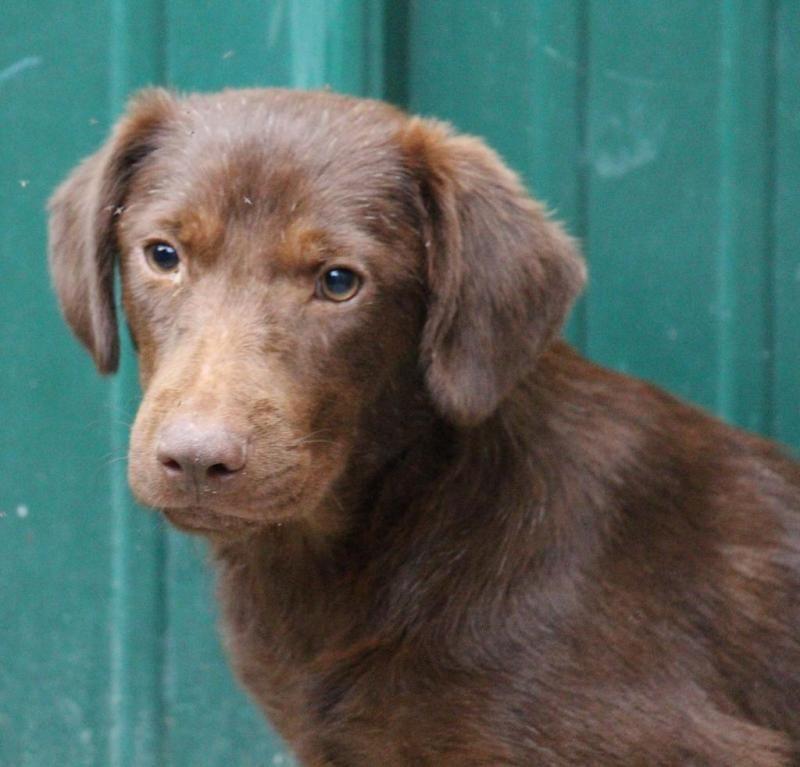 Adopt Clover On Petfinder Boykin Spaniel Chocolate Labrador