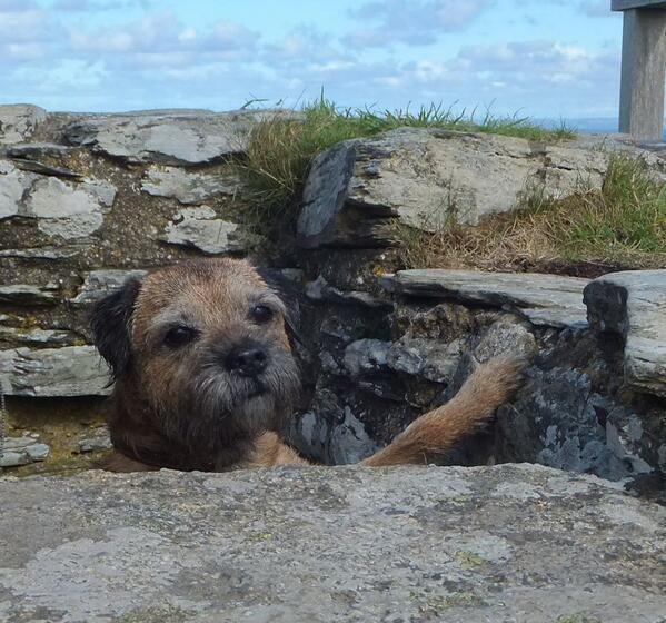Sir Seb On Border Terriers Border Terrier Terrier Brown Dog