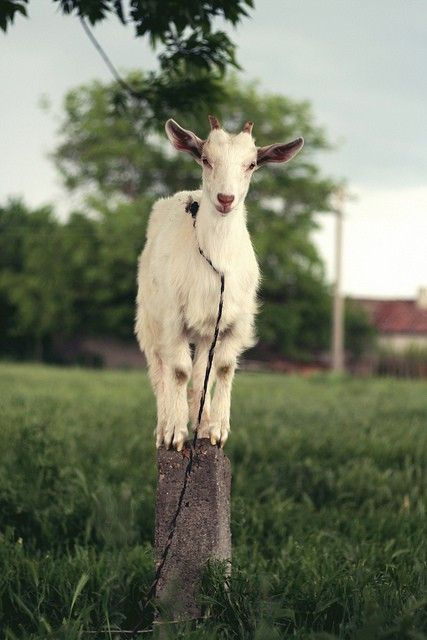 goats, please....