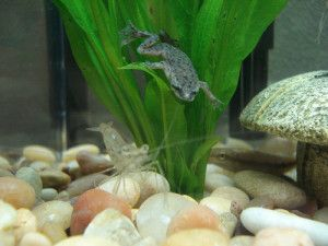 African Dwarf Frog The Care Feeding And Breeding Of African Dwarf Frogs Aquarium Tidings Dwarf Frogs Ghost Shrimp Aquaponics