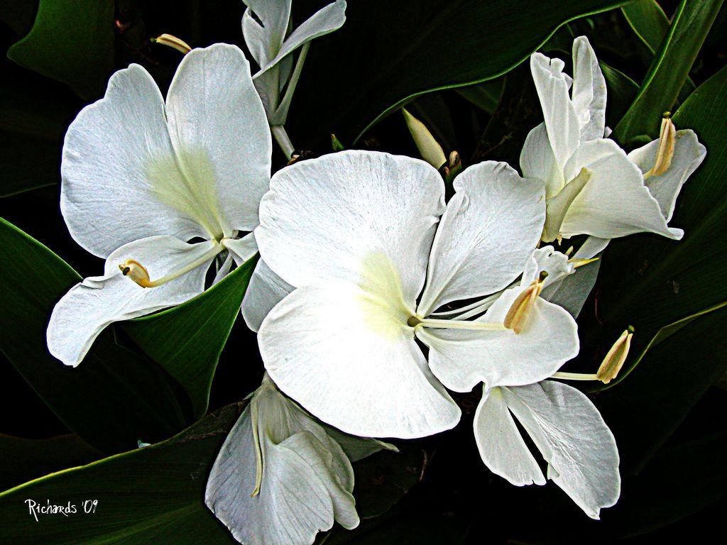 Butterfly Lily Hedychium Coronarium Florals Pinterest